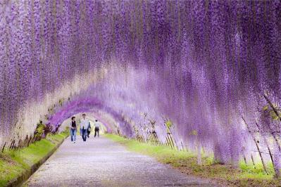 Wisteria Flower Tunnel - Kawachi Fuji Garden Japan2